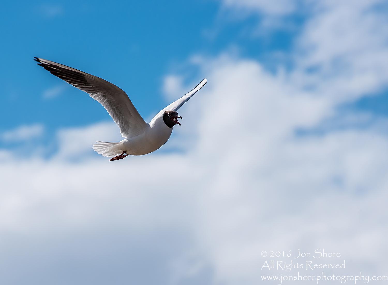 Black Headed Seagull, Jurmala Latvia. Tamron 300mm