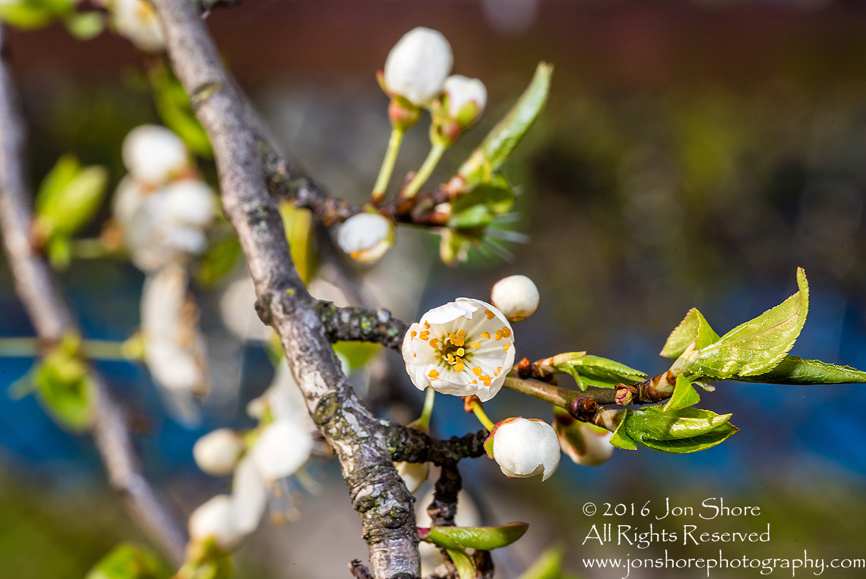 Spring 2016 Plum Blossoms Macro. Tamron 90mm Macro
