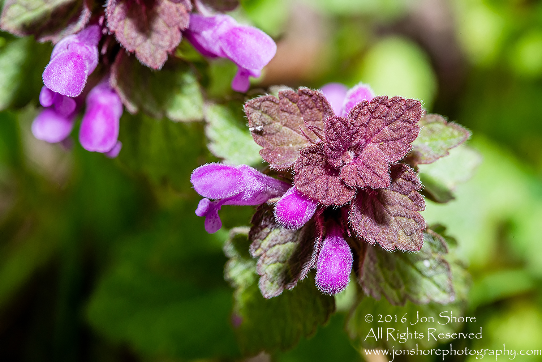 Spring Purple Blossoms Macro - Tamron 90mm Macro