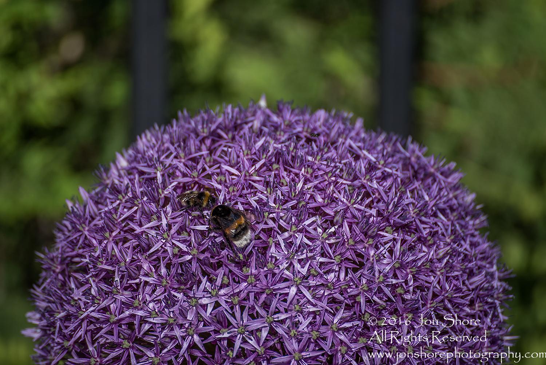 Allium Gigantic and Bees Jurmala, Latvia. Tamron 300mm