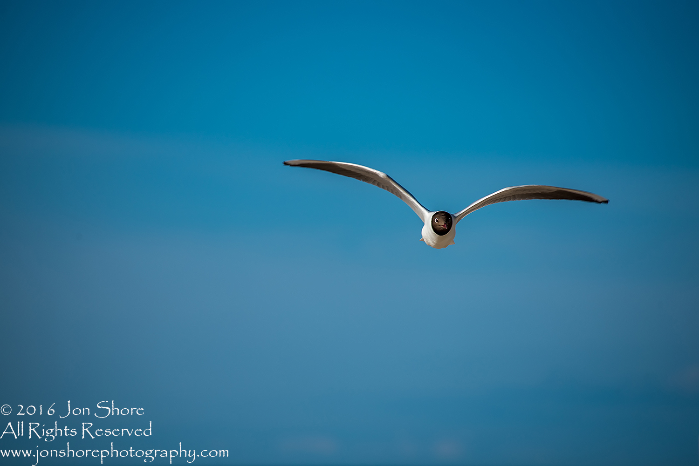 Black headed seagull Jurmala