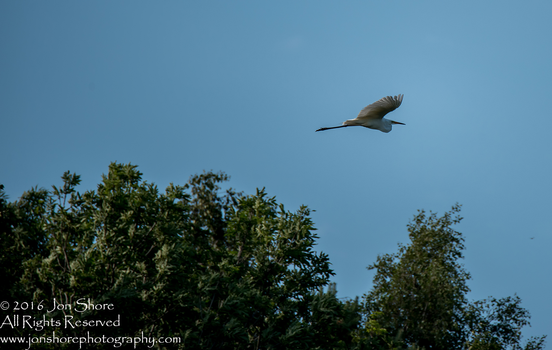 Great White Heron Kemeri National Park, Latvia. Tamron 600mm