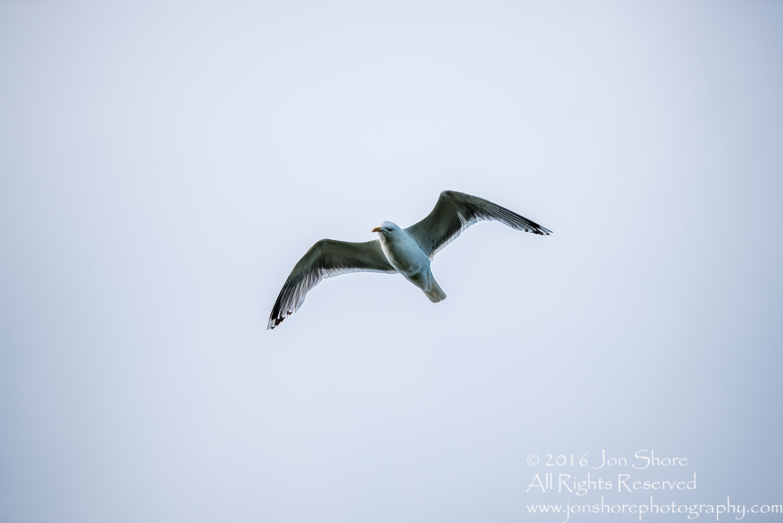 Herring Gull, Kemeri National Park, Latvia. Tamron 600mm