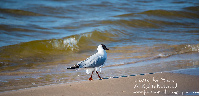Seagull on beach Jurmala, Latvia. Tamron 300mm lens