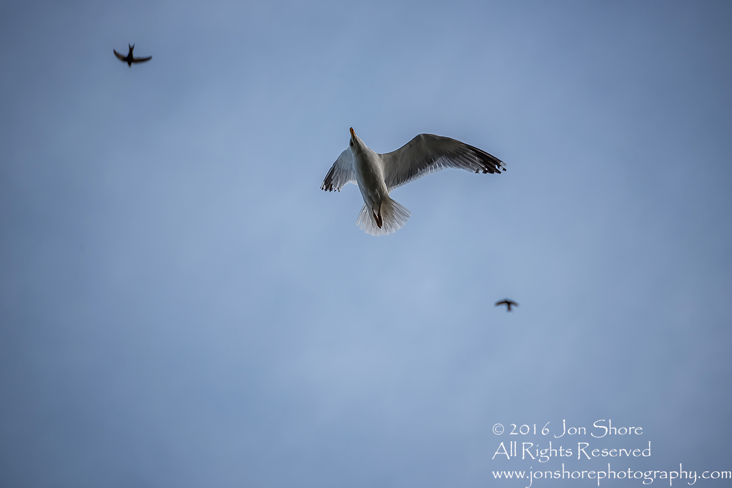 Seagull in Blue Sky. Tamron 300mm lens