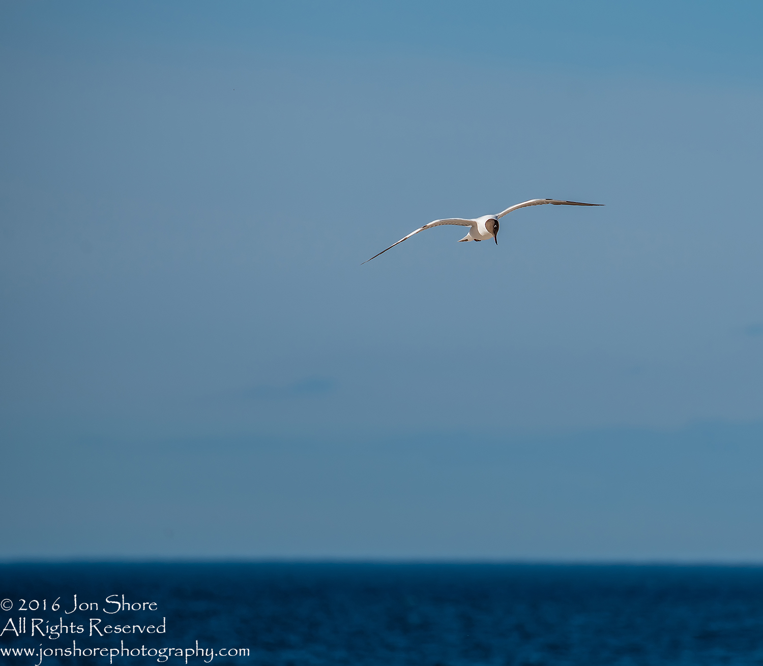 Black Headed Seagull flying over Baltic Sea. Tamron 300mm