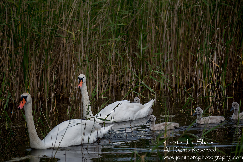 Swan and babies Kemeri National Park, Latvia. Tamron 600mm