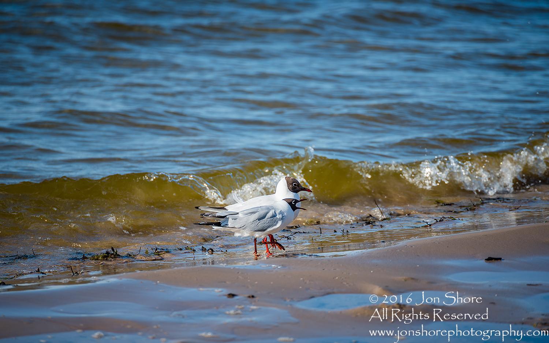 Two Seagulls walking along on Jurmala Latvia Beach. Tamron 300mm lens