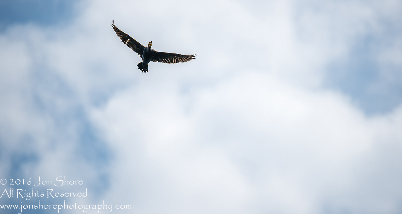 Great cormorant Kemeri National Park, Latvia. Tamron 600mm