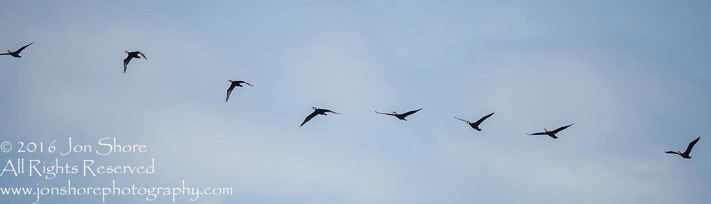 Great cormorants in formation Kemeri National Park, Latvia. Tamron 600mm