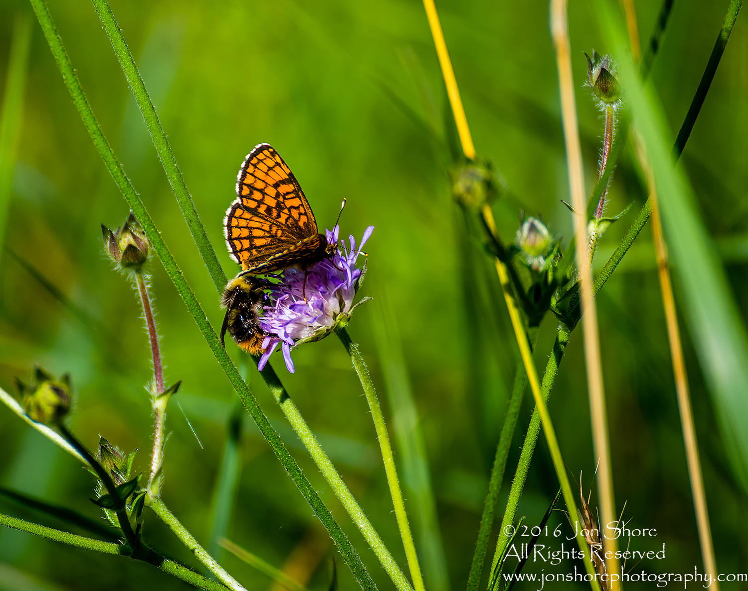 Butterfly and Bee on flower. Tamron 300mm
