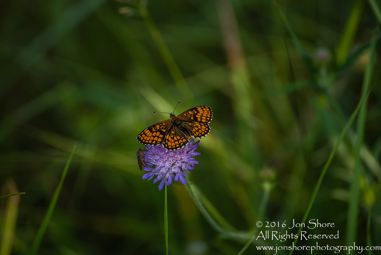 Butterflies on flower. Tamron 300mm