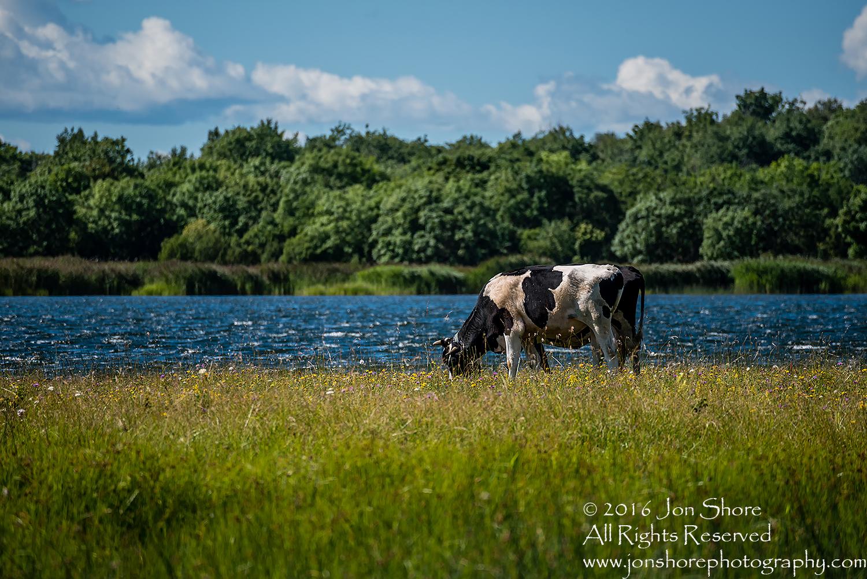 Estonian cow