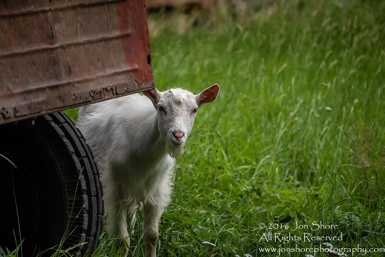 Goats in Estonia.