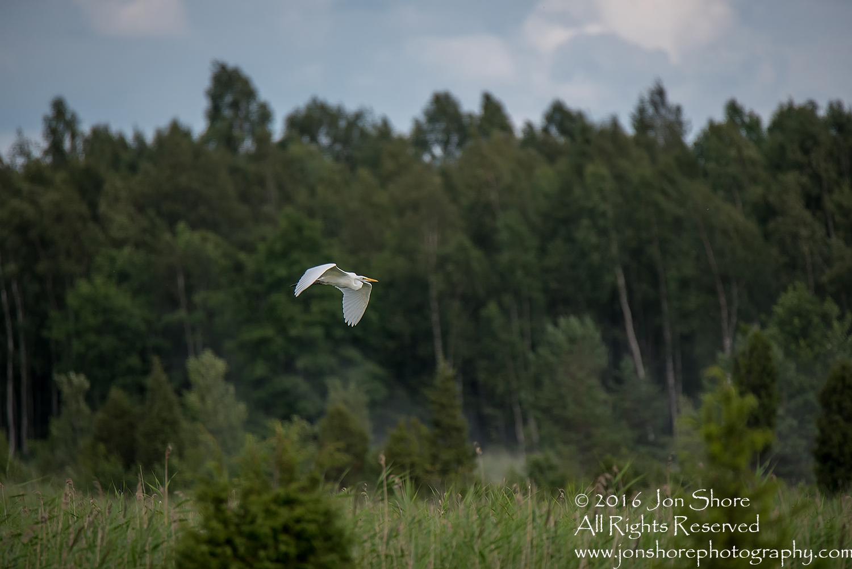 Great White Heron Flying Kemeri National Park