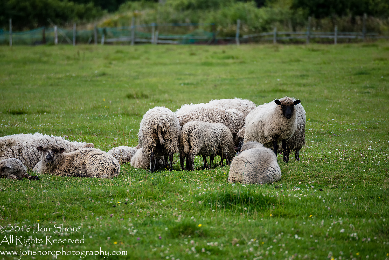 Sheep in Estonia.
