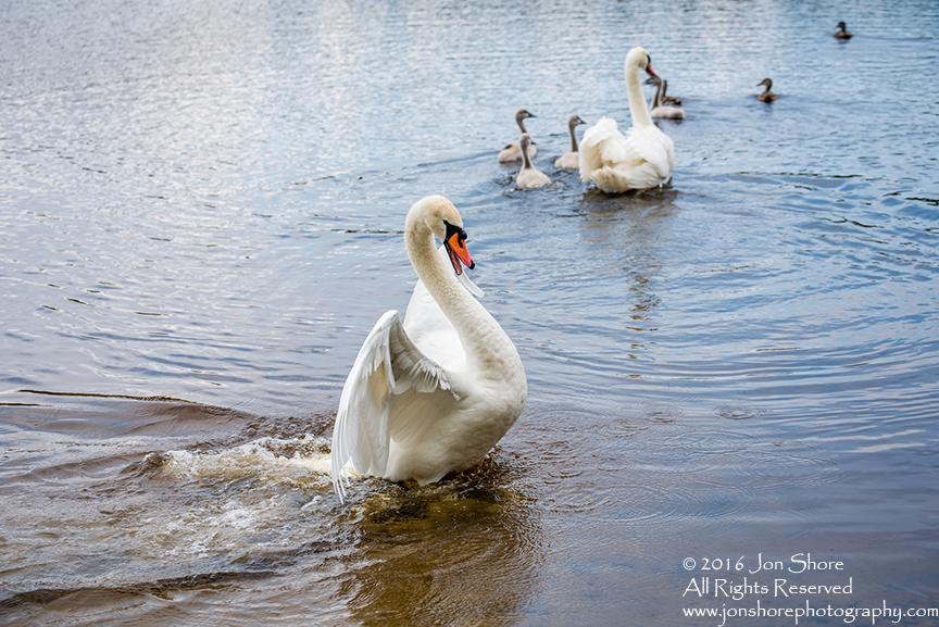 Swan attacking. Tamron 300mm