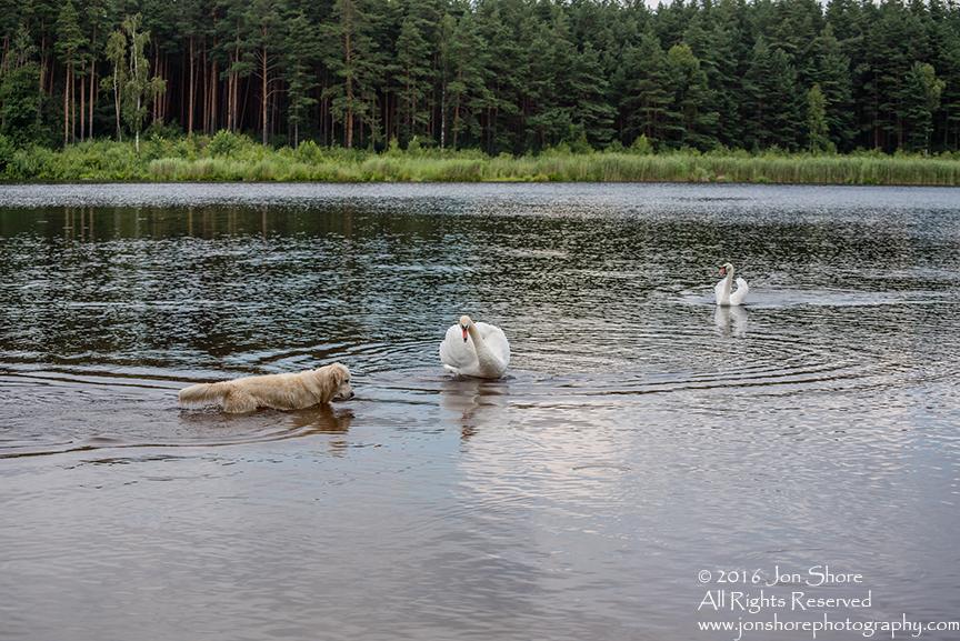 Swan attacking Billy the Golden Retriever. Tamron 300mm