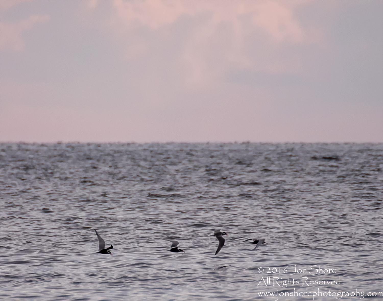 Fishing Terns over Baltic Sea. Tamron 600mm