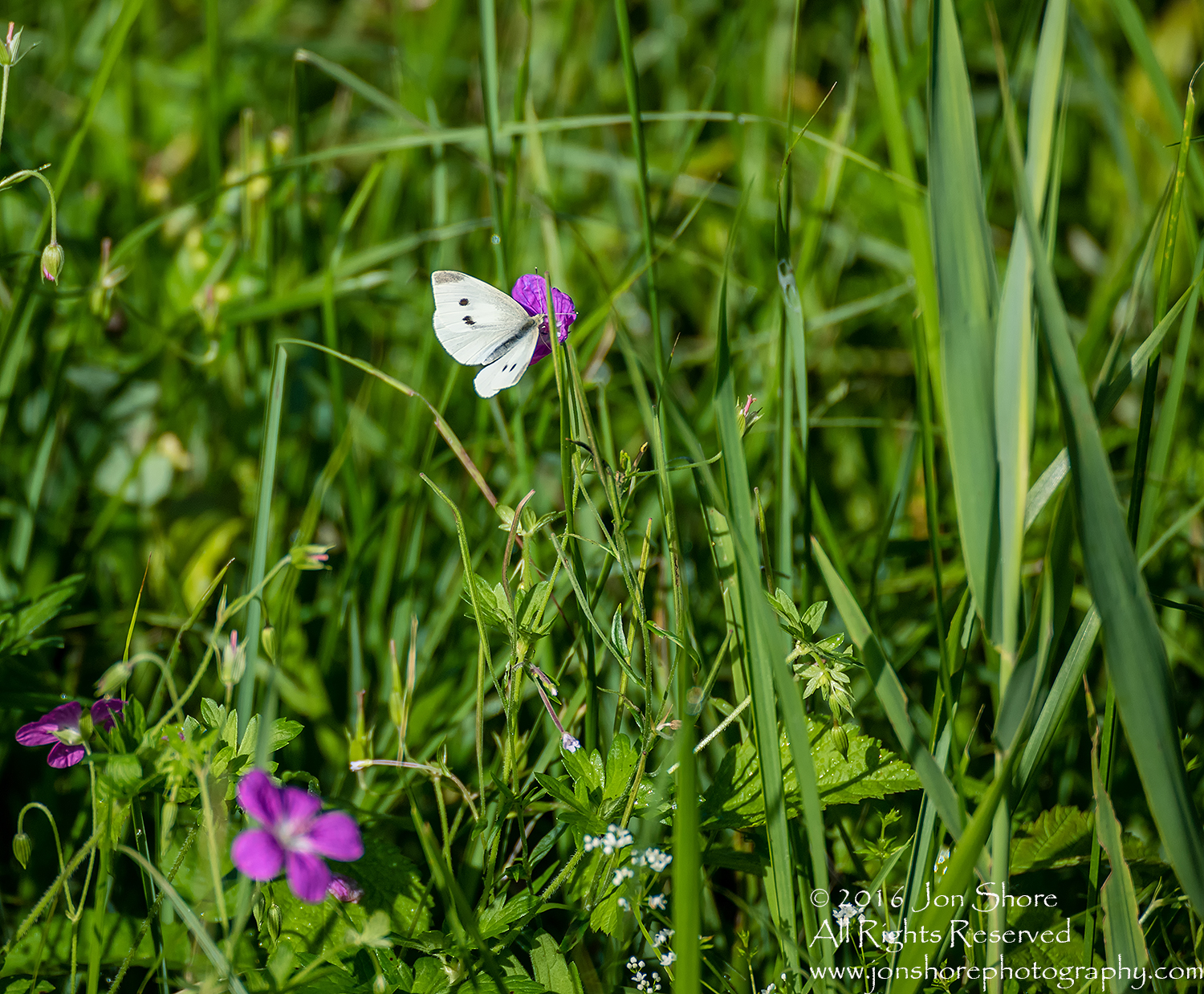 Butterfly on flower Latgale. Tamron 300mm