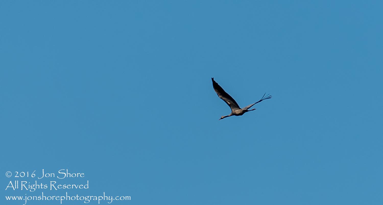 Common Crane. Tamron 300mm