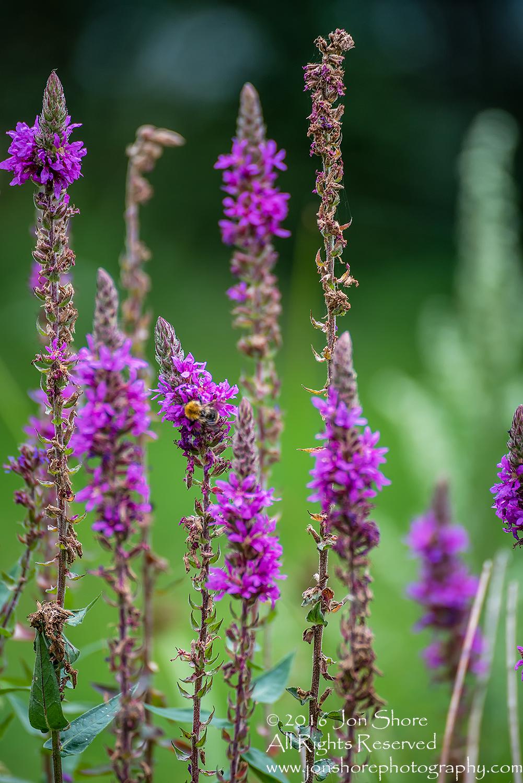 Purple Flowers and Bee. Latgale, Latvia. 300mm