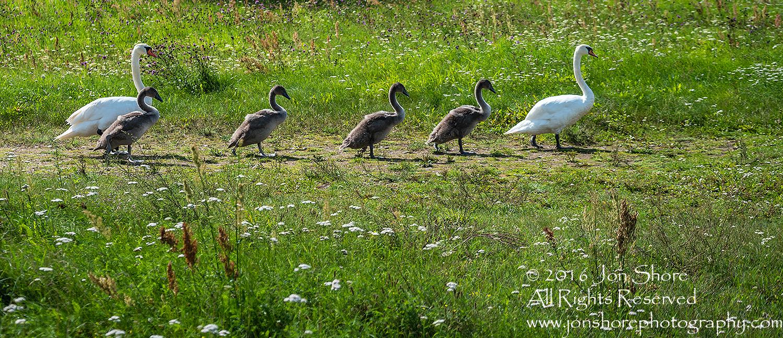 Swan Family at Rāznas Lake in Latgale, Latvia. Tamron 200mm