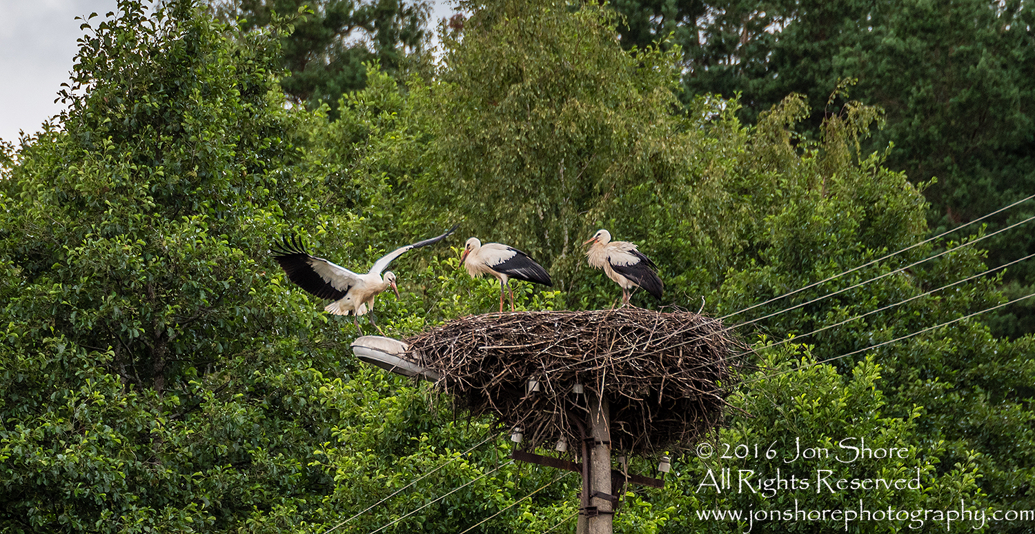 Storks in a Nest. Latgale, Latvia. Tamron 300mm