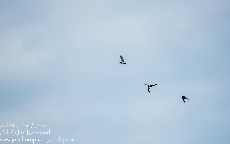 Swallows. Tamron 300mm