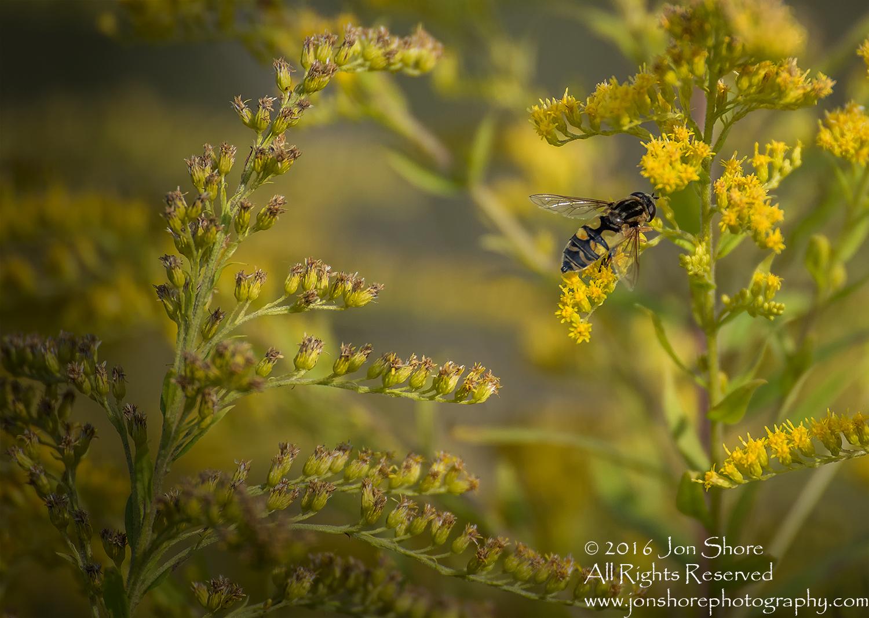 Close-up of Bee on Yellow Flowers - Jurmala, Latvia Tamron 90mm macro lens