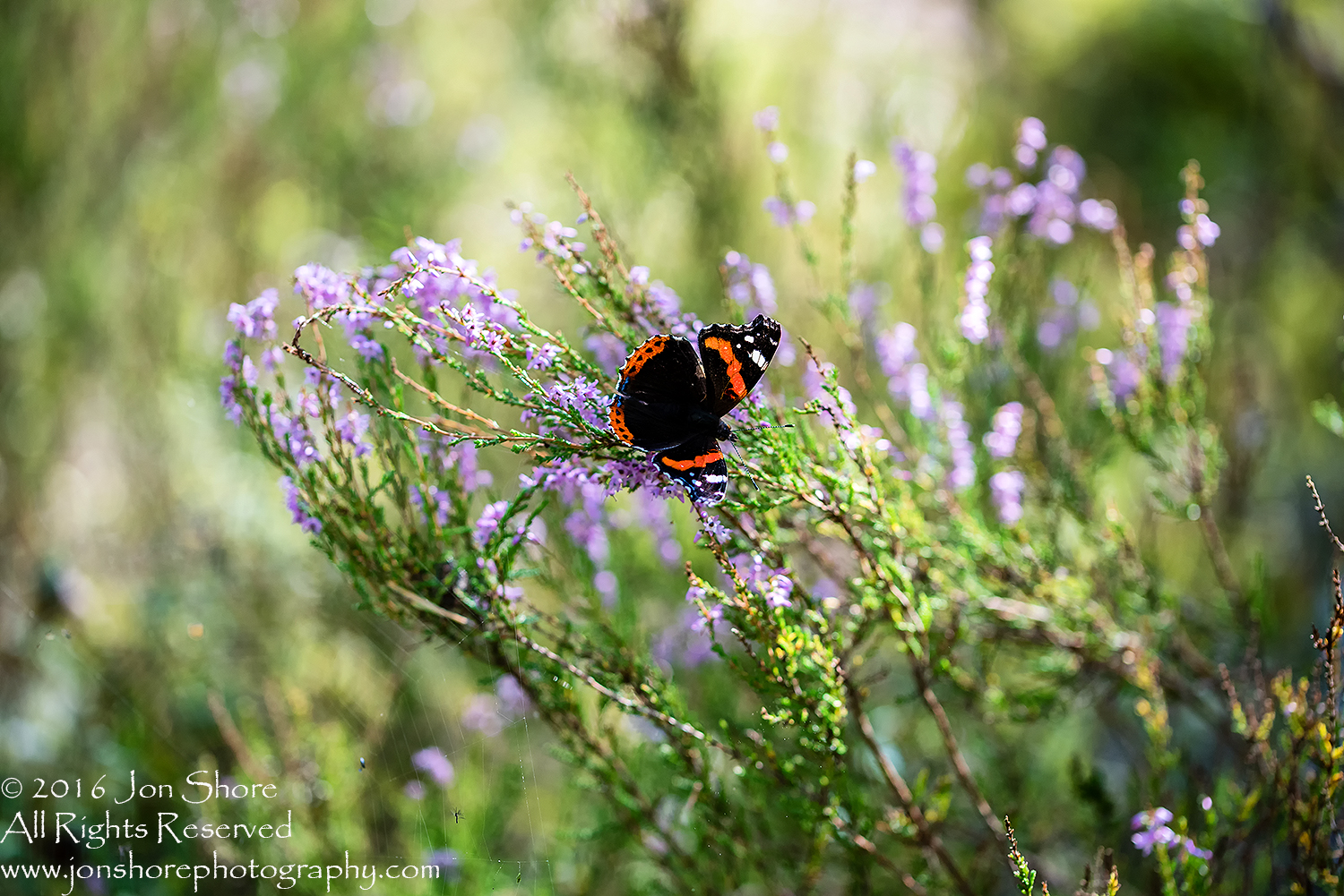 Red Admiral Butterfly - Summer - Latvia Tamron 90mm Macro Lens