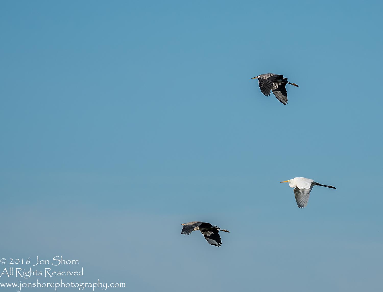 Great White Egret and Grey Herons- Summer - Burtnieks, Latvia Tamron 600mm Lens
