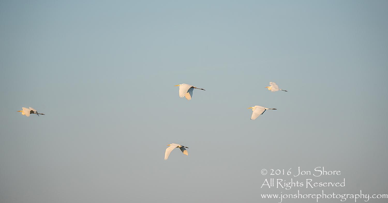 Great White Egret at Sunrise- Summer - Burtnieks, Latvia Tamron 600mm Lens