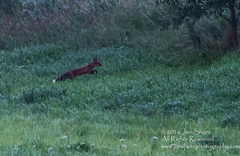Fox Running - Burtnieks, Latvia Tamron 300mm Lens