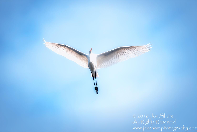 Great White Egret- Summer - Burtnieks, Latvia Tamron 600mm LensGreat White Egret- Summer - Burtnieks, Latvia Tamron 600mm Lens