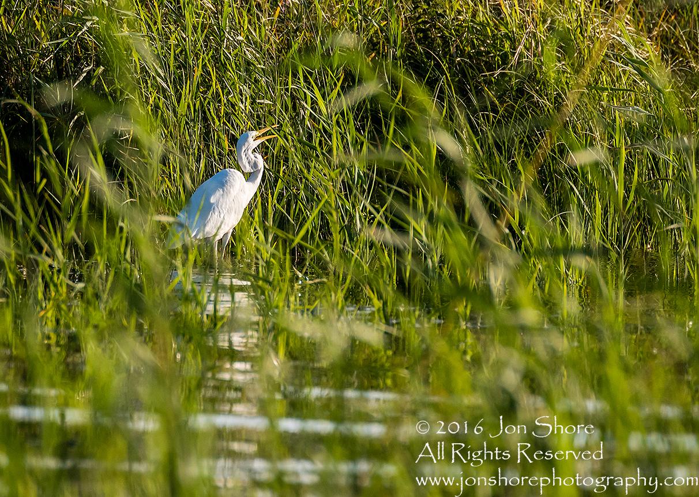Great White Egret - Summer - Burtnieks, Latvia Tamron 300mm Lens