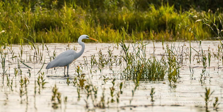 Great White Egret - Summer - Burtnieks, Latvia Tamron 600mm Lens