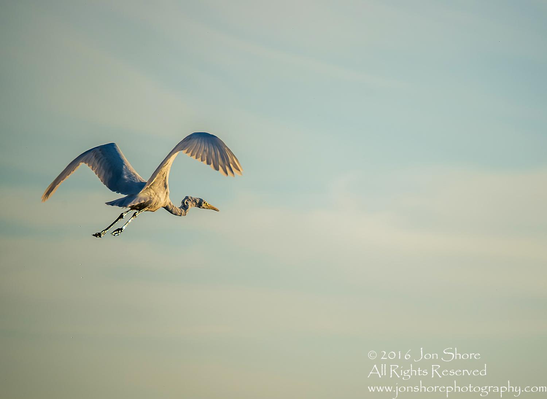 Great White Egret- Summer - Burtnieks, Latvia Tamron 600mm Lens