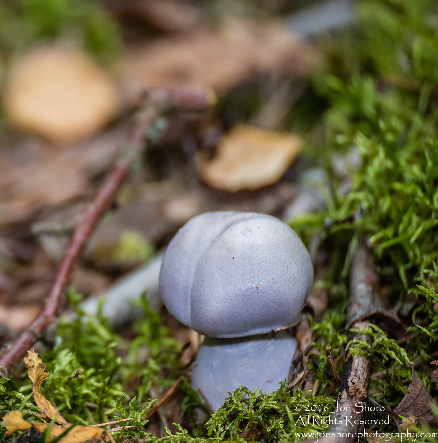Lavendar Mushroom Macro Close-up. Tamron 90mm Macro lens.