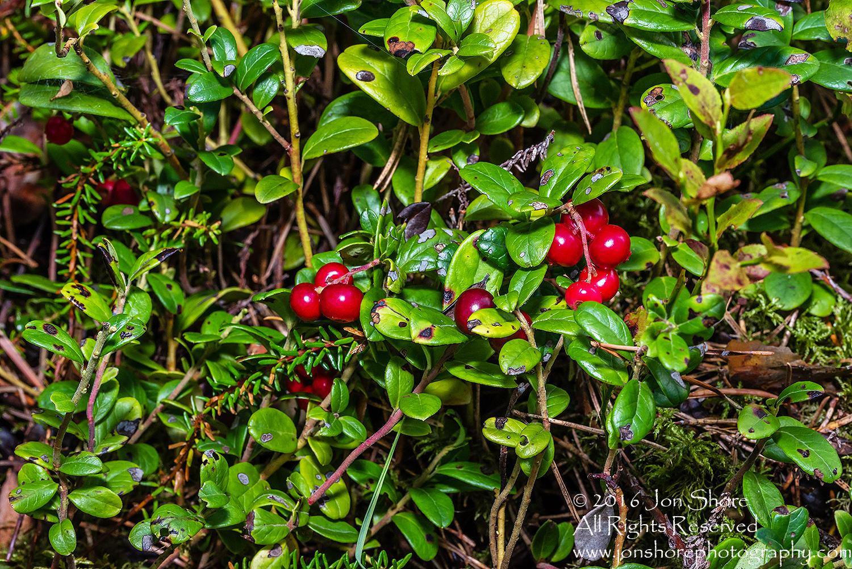 Wild Lingonberries Close-up - Latvia Tamron 90mm Macro Lens