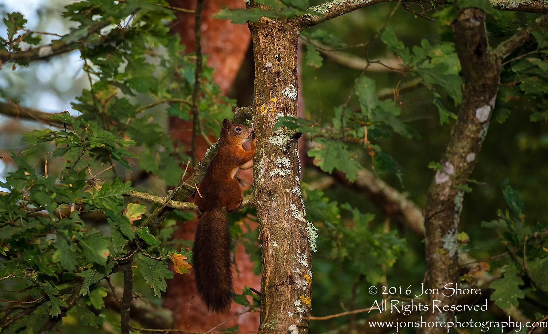 Red Squirrel - Summer - Burtnieks, Latvia Tamron 300mm Lens