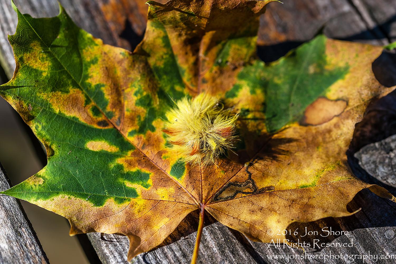 Sycamore Moth Caterpillar Close-up - Summer Burtnieks, Latvia Tamron 90mm Macro Lens