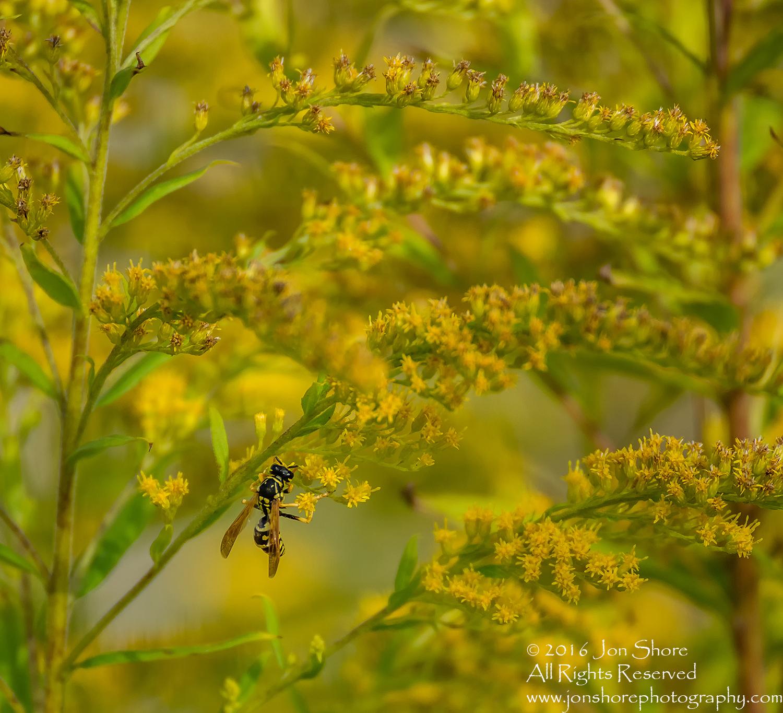 Close-up of Wasp on Yellow Flowers - Jurmala, Latvia Tamron 90mm macro lens