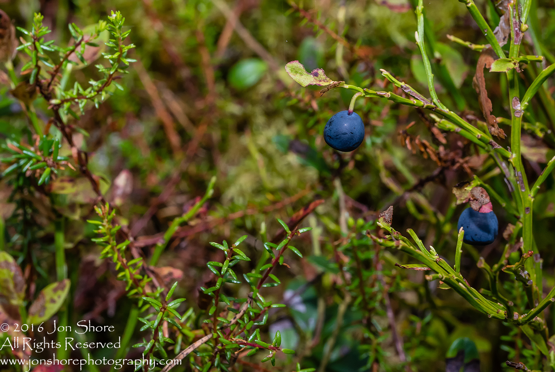 Wild Blueberries Close-up - Latvia Tamron 90mm Macro Lens