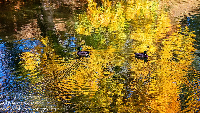 Ducks in Autumn Reflection. Cesis, Latvia, Nikkor 300mm