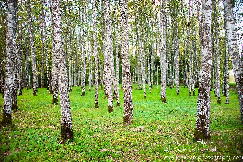 Birch Grove. Priekuli, Latvia. Nikkor 28mm