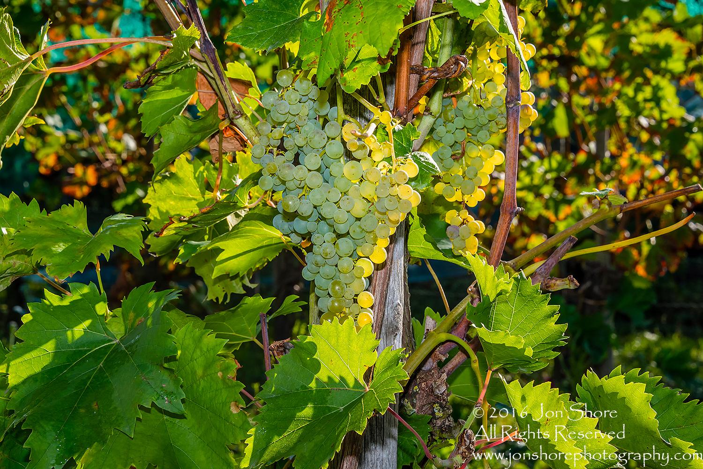 Grapes. Trier, Germany. Nikkor 100mm