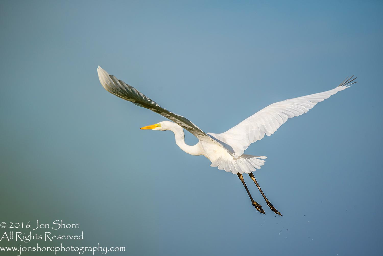 Great White Egret. Burtnieki, Latvia. Tamron 600mm