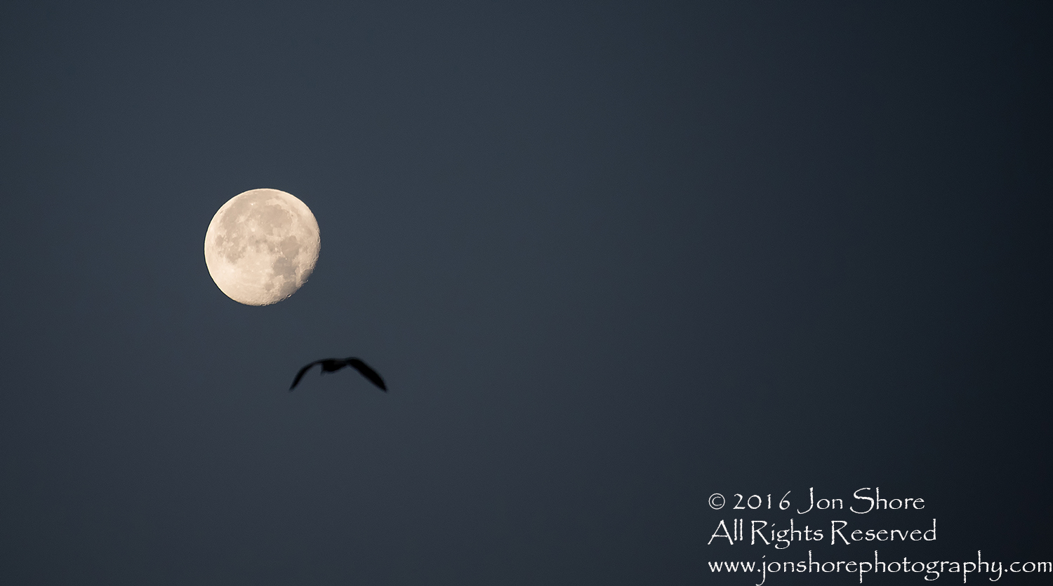 Moon and Gull. Nikkor 300mm