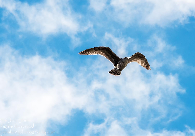 Seagull. Nikkor 300mm